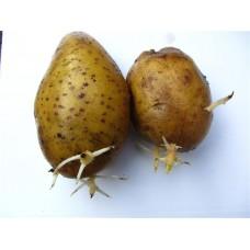 Картофель посадочный среднеспелый сорт Роксана в сетке 5 кг