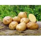Картофель посадочный, надранний сорт Волумия  в сетке 3 кг
