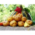 Картофель посадочный, ранний сорт Августа  в сетке 3 кг