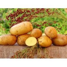 Картофель посадочный, среднеспелый сорт Гвязда  в сетке 3 кг