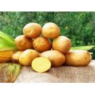 Картофель посадочный, среднеспелый сорт Джели  в сетке 3 кг