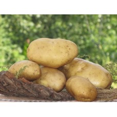 Картофель посадочный среднеспелый сорт Агрия в сетке 5 кг