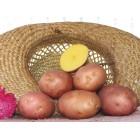 Картофель посадочный, раннеспелый сорт Беллароза в сетке 3 кг