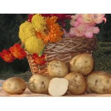 Картофель посадочный поздний сорт Голубизна в сетке 3 кг