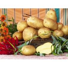 Картофель посадочный среднеспелый сорт Лабадия в сетке 5 кг