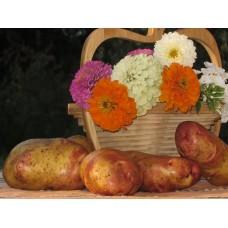 Картофель, поздний сорт Пикасо в сетке 3 кг