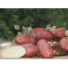Картофель посадочный, поздний сорт Русет-бурбанк в сетке 3 кг