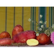 Картофель посадочный поздний сорт Рено в сетке 3 кг