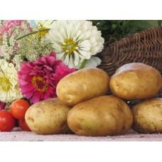 Картофель, среднеспелый сорт Санте в сетке 3 кг