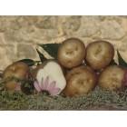 Картофель посадочный, раннеспелый сорт Щедрык в сетке 3 кг