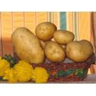 Картофель посадочный, раннеспелый сорт Веста в сетке 3 кг
