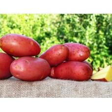 Картофель, среднеспелый сорт РэдФентези  в сетке 3 кг