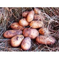 Картофель посадочный, раннеспелый сорт Спунта в сетке 5 кг