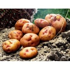 Картофель, среднеспелые сорта 80—85 дней Астера, в сетке 3 кг