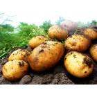 Картофель посадочный, среднеспелые сорта 80—85 дней Батя, в сетке 3 кг