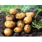 Картофель посадочный, раннеспелые сорта 65—70 дней Чарунка, в сетке 3 кг