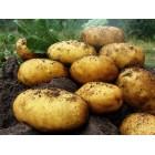 Картофель посадочный, надранние сорта 45—60 дней Эльф(е), в сетке 3 кг