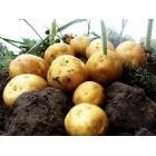 Картофель, среднеспелый сорт Гала в сетке 3 кг