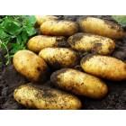 Картофель, среднепоздние сорта — 115—120 дней Гранада, в сетке 3 кг