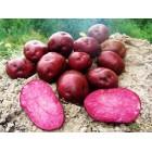 Картофель, среднеспелые сорта 80—85 дней Хортыця, в сетке 3 кг
