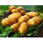 Картофель посадочный, раннеспелые сорта 65—70 дней Катания, в сетке 3 кг