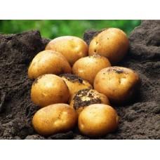 Картофель, среднеранние сорта — 70—75 дней Легионер, в сетке 3 кг