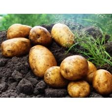 Картофель посадочный, позднеспелые сорта 130—140 дней Модео