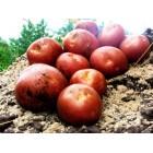 Картофель посадочный, раннеспелые сорта 65—70 дней РэдСоня, в сетке 3 кг