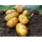 Картофель посадочный, среднеранние сорта — 70—75 дней Росава, в сетке 3 кг