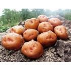 Картофель посадочный, среднеспелые сорта 80—85 дней Славута, в сетке 3 кг