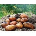 Картофель посадочный, среднеранние сорта — 70—75 дней Струмок, в сетке 3 кг
