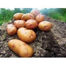 Картофель, раннеспелые сорта 65—70 дней Тирас, в сетке 3 кг