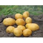 Картофель посадочный, надранние сорта 45—60 дней Венгерска ранняя, в сетке 3 кг