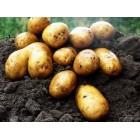 Картофель посадочный, раннеспелые сорта 65—70 дней Взирец, в сетке 3 кг