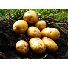 Картофель, среднеранние сорта — 70—75 дней, Альта в сетке 3 кг