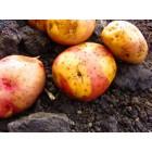 Картофель, раннеспелые сорта 65—70 дней, Бикини в сетке 3 кг