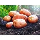 Картофель, раннеспелые сорта 65—70 дней, Цунами в сетке 3 кг