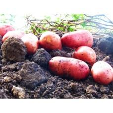 Картофель, среднеранние сорта — 70—75 дней, Дефиле в сетке 3 кг