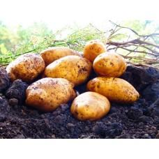 Картофель, среднеранние сорта — 70—75 дней, Джасия в сетке 3 кг