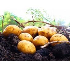 Картофель, среднеспелые сорта 80—85 дней, Электра в сетке 3 кг
