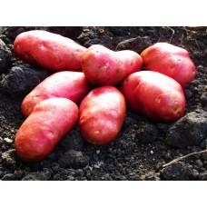 Картофель, среднеранние сорта — 70—75 дней, Эволюшн в сетке 3 кг
