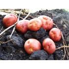 Картофель, раннеспелые сорта 65—70 дней, Инфинити в сетке 3 кг