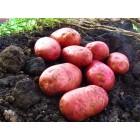 Картофель, раннеспелые сорта 65—70 дней, Кристина в сетке 3 кг