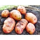 Картофель, позднеспелые сорта 130—140 дней, Лавина в сетке 3 кг