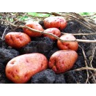 Картофель, среднеранние сорта — 70—75 дней, Мирослава в сетке 3 кг