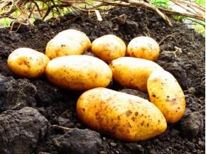 Картофель, среднеспелые сорта 80—85 дней, Нектар в сетке 3 кг
