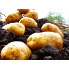 Картофель, надранние сорта 45—60 дней, Орла в сетке 3 кг