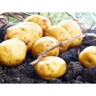 Картофель, среднеранние сорта — 70—75 дней, Предслава в сетке 3 кг