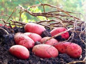 Картофель, среднеранние сорта — 70—75 дней, Румано в сетке 3 кг