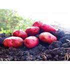 Картофель, среднепоздние сорта — 115—120 дней, Рудольф в сетке 3 кг